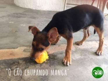 "Portuguese Phrase of the Month: ""O cão chupando manga"""